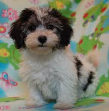 Non Shedding Dog Breeds Small by Royal Flush Havanese Reviews Complaints About Allergies To