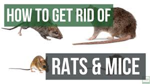 How To Get Rid Of Rats And Mice Guaranteed- 4 Easy Steps - YouTube Mice How To Identity And Get Rid Of In The Garden Home Rats Guaranteed 4 Easy Steps Youtube Does Peppermint Oil Repel Yes Best 25 Getting Rid Rats Ideas On Pinterest 8 Questions Answers About Deer Hantavirus Mouse Control To Of In The Keep Away From Bird Feeders Walls 2 Quick Ways That Work Get Rid Of Rats Using This 3 Home Methods Naturally Dangers Rat Poison Dr Axe Out Your Without Killing Them