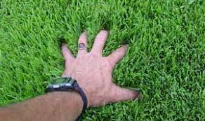 Carpet Grass Florida by Warm Season Grasses Yard Care