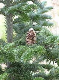 Types Of Live Christmas Trees by Fraser Fir Information U2013 Guide To Caring For Fraser Fir Trees