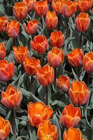 princess irene tulip tulipa princess irene in naperville