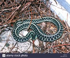 Eastern Garter Snake Thamnophis Sirtalis Stock Photos & Eastern ... Backyard Snakes Effective Wildlife Solutions Snakes And Beyond 65 Best Know Them Images On Pinterest Georgia Of Louisiana Department Fisheries Southern Hognose Snake Florida Texas Archives What Is That 46 The States Slithery Species Nolacom Scarlet Kingsnake Cottonmouth Eastern Living Alongside Idenfication Challenge The Garden Or Garter My Species List New Engdatlantic