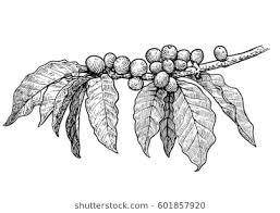 Coffee Plant Illustration Drawing Engraving Ink Line Art Vector