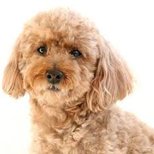 Hypoallergenic Dog Breeds That Dont Shed by Best Small Dogs For Families Family Circle