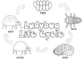Image Of Ladybug Life Cycle Coloring Pages