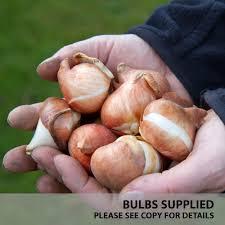 buy tulip apeldoorns elite j bulbs