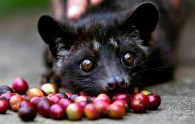 Indonesian Kopi Luwak Image Travvelsized