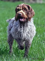 Do Wirehaired Vizslas Shed by Wirehaired Pointing Griffon Wikipedia