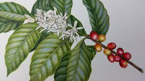 Coffee Botanical Illustration Heidi Willis