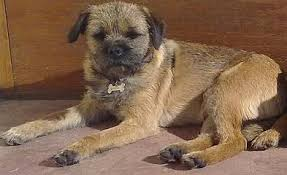 Do Border Terriers Shed by Border Terriers In South Africa