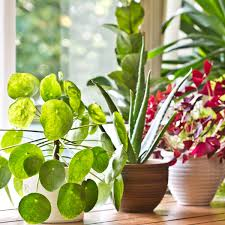 diese zimmerpflanzen fördern schlaf und gesundheit