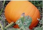 Big Orange Pumpkin Patch Celina Texas by Best Pumpkin Patches Around Dallas And Fort Worth Trekaroo