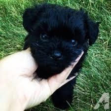 Non Shedding Hypoallergenic Dogs by Breeds Of Black Dogs Dog Breed Gallery