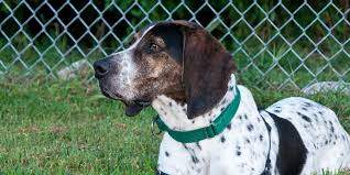 Do Bluetick Coonhounds Shed by Bluetick Coonhound Information Characteristics Facts Names