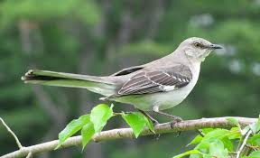 Northern Mockingbird - Wikipedia Sibleys Backyard Birds Wings And Feathers Pinterest Bird Grow These Native Plants So Your Can Feast Audubon Winter Feeding Tips For Happy And Healthy Pics Florida Wild Co Watching De My Life In A Northern Town Cedar Waxwing Birds Utah Google Search Weve Seen The Butterflies Butterflies Of New England Yok David Feeding At My Father Nature Bird Feeder Jacksonville Serenity Spell Attracting Creating Habitat For Wildlife Barn