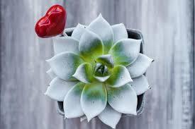 coeur de en pot coeur de forme de lucette de pot d agave photo stock image 65457165