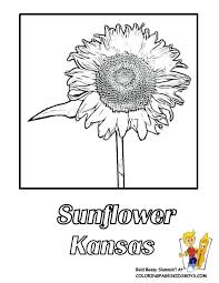 Kansas Sunflower Coloring Picture At YesColoring