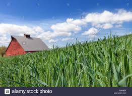 Wheat Fields And Red Barn In Palouse, Washington Stock Photo ... Red Barn Washington Landscape Pictures Pinterest Barns Original Boeing Airplane Company Building Museum The The Manufacturing Plant Exterior Of A Red Barn In Palouse Farmland Spring Uniontown Ewan Area Usa Stock Photo Royalty And White Fence State Seattle Flight Interior Hip Roof Rural Pasture Land White Fence On Olympic Pensinula