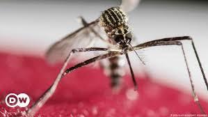 mit bakterien infizierte mücken sollen dengue und zika