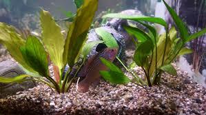 aquarium d eau douce images gratuites fleur poisson aquarium poissons d aquarium