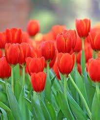 netherland bulb company dormant princess irene triumph tulip bulb
