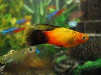 aquarium d eau douce liste de poissons d aquarium d eau douce wikipédia