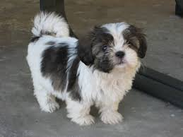 25 Very Best Shih Tzu Dog And s