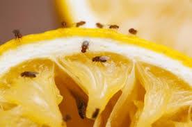 Little Flies In Bathroom Drain by Fruit Flies U0026 Drain Flies U2026 And How To Avoid Them Len The Plumber
