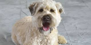 soft coated wheaten terrier information characteristics facts