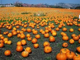Tapia Brothers Pumpkin Patch by Pumpkin Patches And Harvest Festivals In Los Angeles Trekaroo