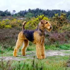 Airedale Terrier Non Shedding by Airedale Terrier Dog Lovers Airedale Terrier