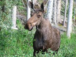 Bull Moose Shedding Antlers by Moose Wikipedia The Free Encyclopedia Not Bullwinkle J But