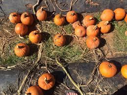 Pumpkin Patch Durham North Carolina by Hall Family Farm 41 Photos U0026 24 Reviews Fruits U0026 Veggies