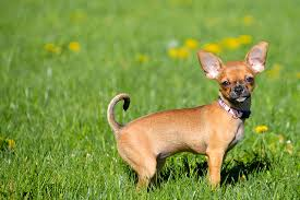 Quiet Small Non Shedding Dog Breeds by 10 Of The Most Low Maintenance Dog Breeds U2013 Iheartdogs Com