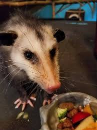 Possum Hashtag On Twitter All About Opossums Wildlife Rescue And Rehabilitation Easy Ways To Get Rid Of Possums Wikihow Animals Articles Gardening Know How 4 Deter From Your Garden Possum Hashtag On Twitter Removal Living In Sydney Opossum Removal Services South Florida Nebraska Rehab Inc Help Nuisance Repel Gel Barrier Sealant For Squirrels And Raccoons To Of Terminix