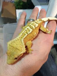 Halloween Harlequin Crested Gecko For Sale by Crested Gecko Creamsicle Reptiles Amphibians U0026 Vivariums