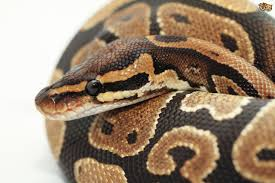 retained eye caps in snakes explained pets4homes
