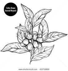Coffee BranchNatural Organic Caffeine Plant With Leafberrybean