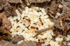 rote ameisen mit weiße eier auf ameisenhaufen
