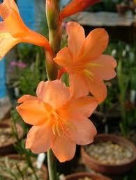 watsonia knysnana growing flower ideas plants and