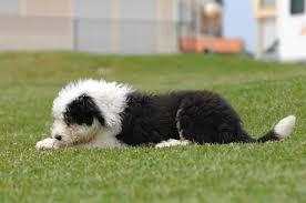 le berger pas cher races de chiens les meilleurs chiens pour vous et votre famille