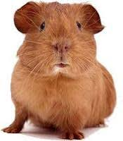 Can Guinea Pigs Eat Salted Pumpkin Seeds by Cobaya Gourmet Guinea Pigs