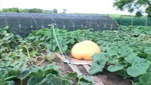 Pumpkin Patch Baton Rouge 2017 by How Bill Foss Grows An Award Winning Pumpkin Wcco Cbs Minnesota