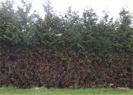 Leyland Cypress Christmas Tree Farm by Leyland Cypress Trees Available In Washington State We Deliver And