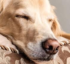wie schlafen hunde wichtige tipps zum schlafverhalten vs