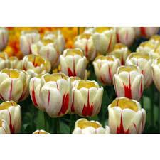 single late tulips where to buy tulip bulbs terra ceia farms