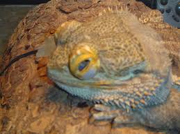 Bearded Dragon Shedding A Lot by Abnormal Eyes U2022 Bearded Dragon Org