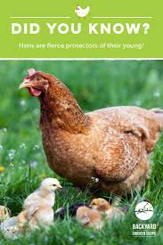 30 Best Chicken And Egg Facts Images On Pinterest | Backyard ... Best Backyard Chickens For Eggs Large And Beautiful Photos 4266 Best Backyard Chickens Care Health Images On Pinterest Raising Dummies Modern Farmer Eggs Part 1 Getting Baby Chicks For 1101 Emma Chicken Breeds And Meat With 15 Popular Of Archives Coffee In The Cornfields Balancing Mrs Simply Southern The Chick Handling Storage Of Fresh From Laying Brown 5 Hens Your