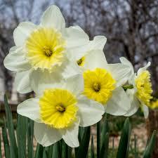 daffodil bulbs item 3040 follies for sale