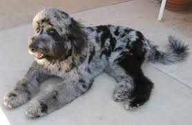 Non Shed Dog Breeds Hypoallergenic by Are Aussiedoodles Hypoallergenic